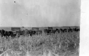 Hand-picking Corn in South Dakota, early 1900s