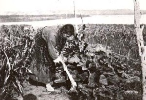 Native American Woman Using a Scapula Hoe in Kansas, circa 1930s, courtesy Illinois State Museum